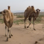 The Bactrian camel is thought to have a wild population only a few hundred. These were domesticated. See http://news.bbc.co.uk/2/hi/asia-pacific/968991.stm