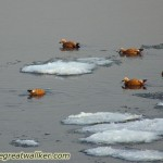 Ruddy Shelducks on the icy Yellow River. A typical bird species of water(!) in the deserts of Inner Asia.