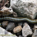 This centipede tasted liquorice with a hint of lemon   ;-)