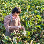 A farmer collects cotton.